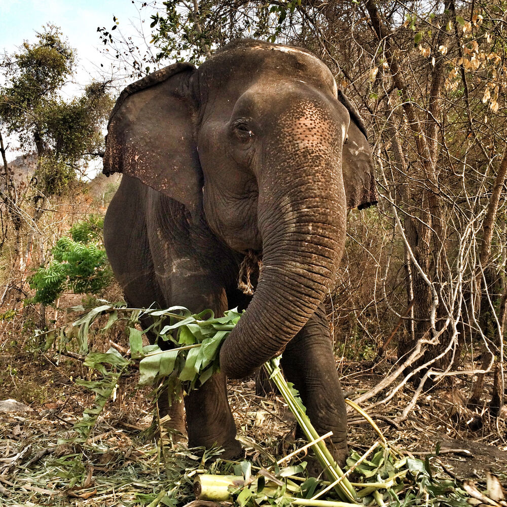 One of the 14 elephants currently at the Elephants World sanctuary snacks on banana leaves in the forest outside the facility near Kanchanaburi, Thailand. Elephants are walked to the forests each evening where they spend the night among each other. (Colin Corneau/Bramdon Sun)
