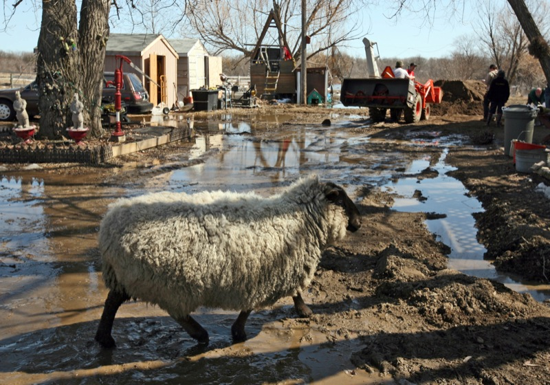 A sheep scampers across a muddy lane at a home in the Rural Municipality of Cornwallis struggling against rising river levels, Tuesday afternoon.