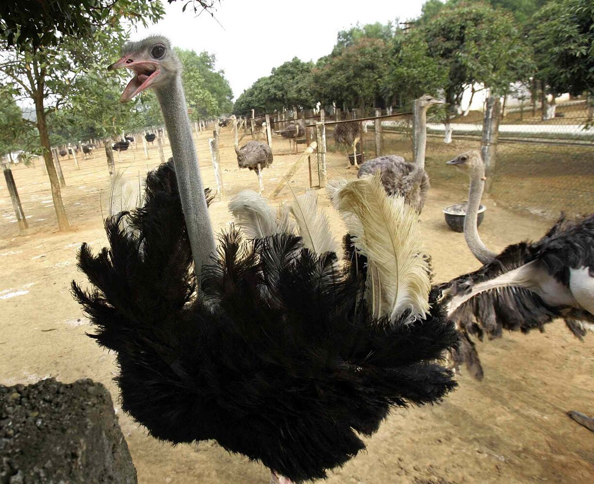 11 (d) struthioniformes, including, but not limited to, flightless ratites such as ostriches (pictured), rheas, cassowaries, emus and kiwis.  (Chitose Suzuki / The Associated Press)
