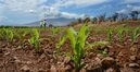"""In this photo taken Sept. 10, 2014, Monsanto crew members Gerard Manuel, left, and Rommel Angale, right, count corn sprouts in a field of test hybrids in a breeding nursery near Kihei, Hawaii. Maui County voters will decide in the next few weeks whether to ban the cultivation of genetically engineered organisms, at least temporarily. A """"yes"""" vote on the Nov. 4 ballot initiative would require large multinational companies that research new varieties of corn and soybeans in Maui to stop farming until they are able to prove their methods are safe. This could upend global agriculture giant Monsanto's research pipeline for new varieties of corn and soybeans. (AP Photo/The Maui News, Matthew Thayer)"""