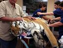 In this photo provided by BluePearl Veterinary Partners, Vernon Yates, founder of Wildlife Rescue and Rehabilitation, lays his hands on Ty, a 400-pound tiger, as staff prepare to surgically extract a 4-pound hairball from the big cat on Wednesday, May 22, 2013, in Clearwater, Fla. Ty is cared for by Wildlife Rescue and Rehabilitation in Seminole. The non-profit animal rescue group mainly serves by assisting Florida law enforcement with animals that have been seized. (AP Photo/Courtesy BluePearl Veterinary Partners, James Judge)