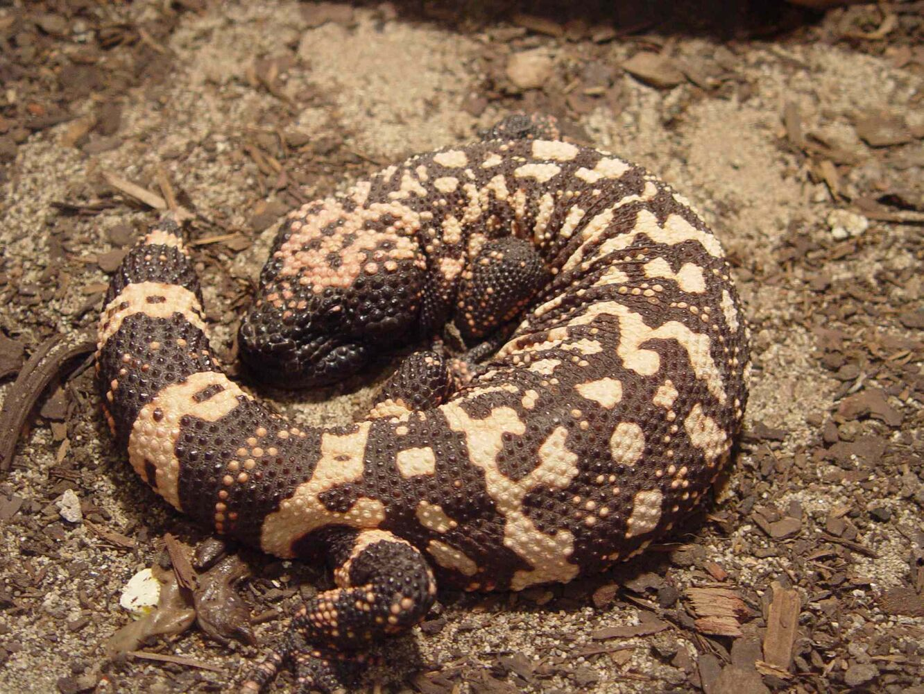 10 Reptiles (Reptilia) (a) all Helodermatidae (e.g. gila monster - pictured - and Mexican bearded lizard).