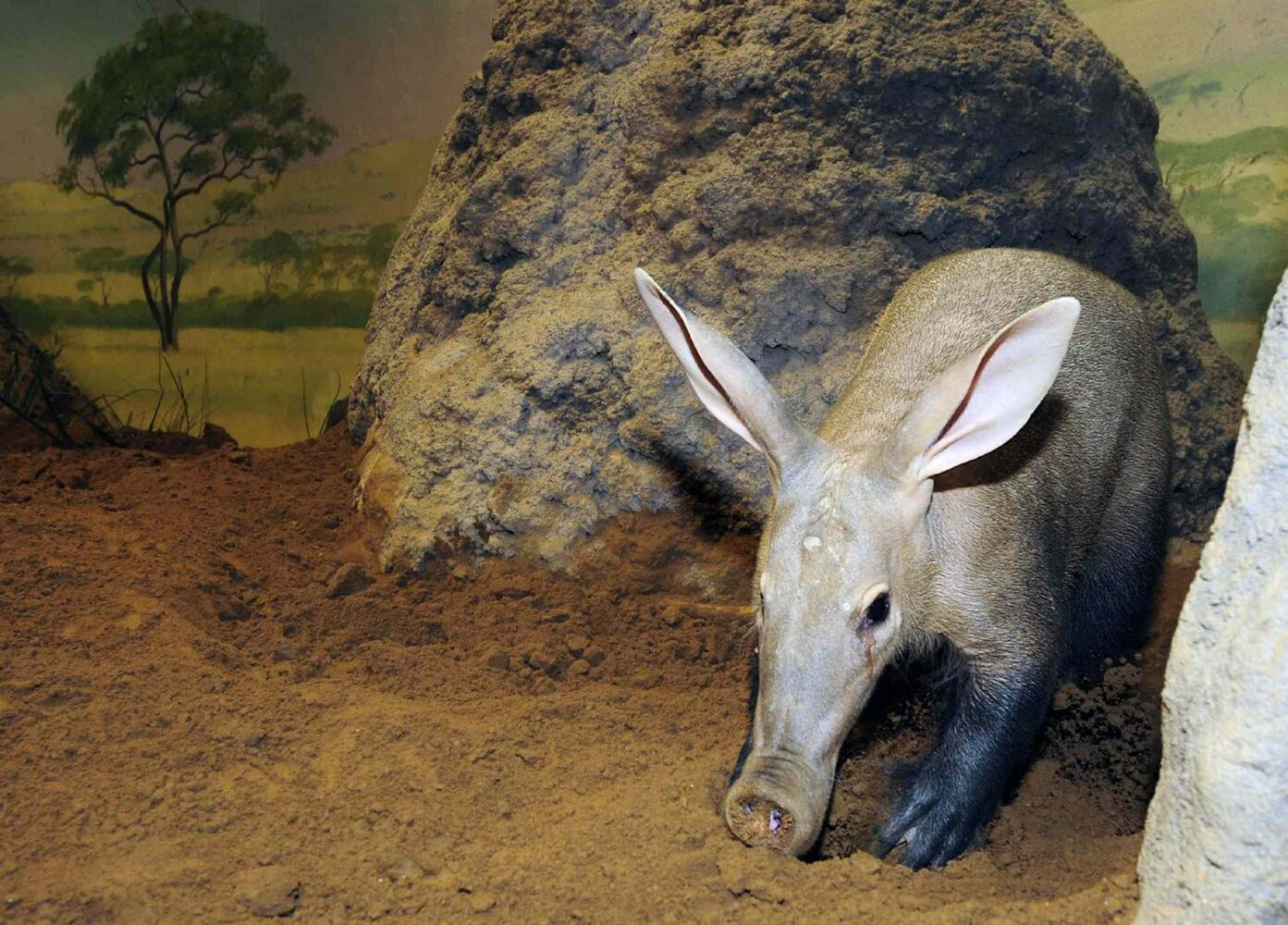 22. Insectivorous mammals, including, but not limited to, aardvark (pictured), tenrec, shrew species, mole species and hedgehog species, except the African pygmy hedgehog. (CP)