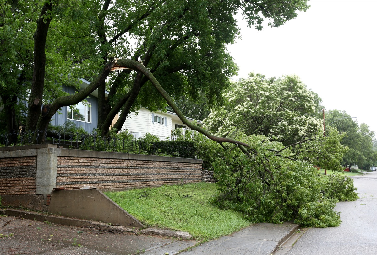 Fallen trees and branches line Ross Avenue in Brandon after high winds brought them down on Sunday. (Tim Smith/Brandon Sun)