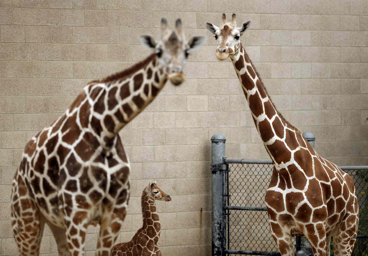 14. All even-toed ungulates (Artiodactyla) other than domestic sheep, including, but not limited to, antelope, giraffe (pictured) and hippopotamus.  (CP)