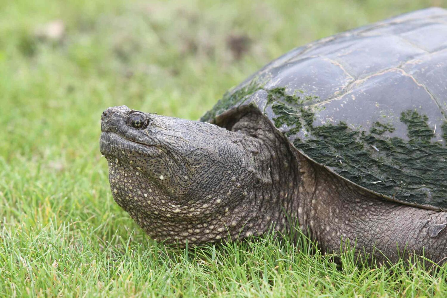 10. (i) all members of the family Chelydridae, including snapping turtle and alligator snapping turtle.  ( Bruce Bumstead / Brandon Sun)