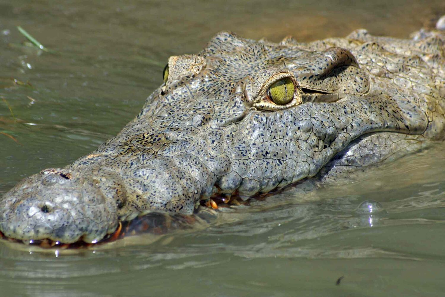 10. (j) all members of the order Crocodylia, including, but not limited to, alligator, caiman and crocodile. (Tribune Media MCT)
