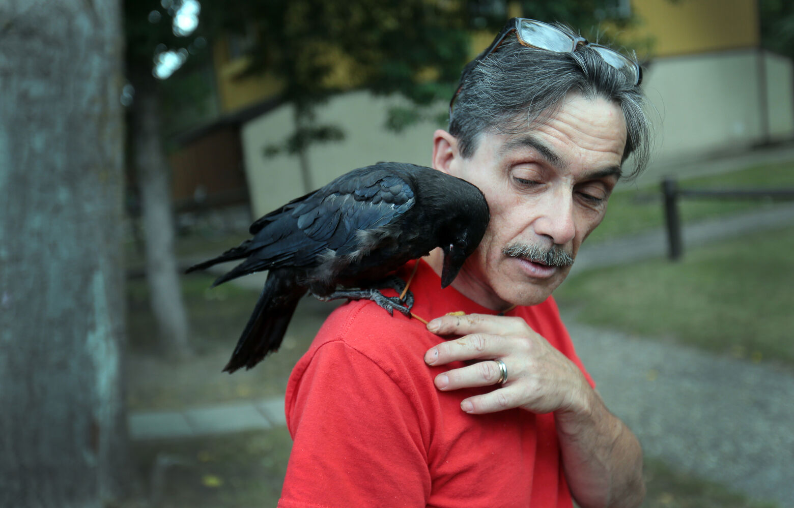 Charlie the crow perches on the shoulder of Gerald Dillon, who nursed the injured crow back to health when it was a chick, in August. Now, Charlie and Dillon have developed a bond, and the crow has become quite a sight around the Victoria Woods apartments. (Bruce Bumstead/Brandon Sun)