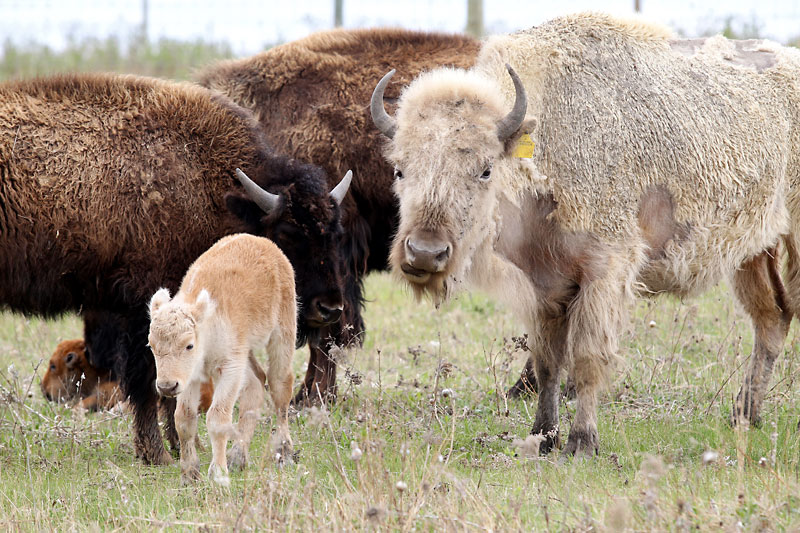 A rare white bison calf stays close to its mother, also a white bison, and its herd at Sioux Valley Dakota Nation on Friday. The calf was born on May 7. A white bison is considered a sacred symbol among many First Nations communities. White bison births are extremely rare.