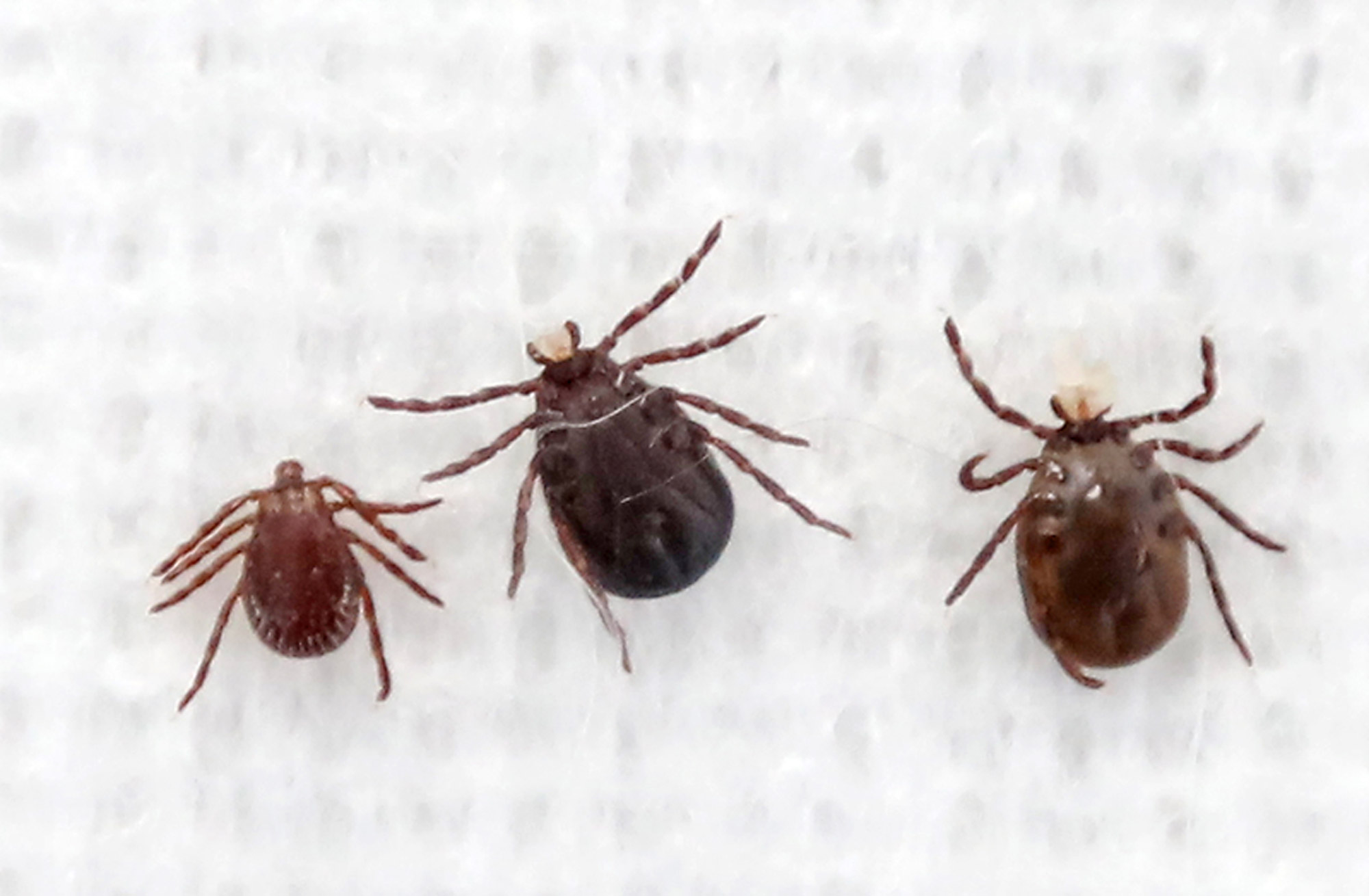 Ticks are here to stay says biologist