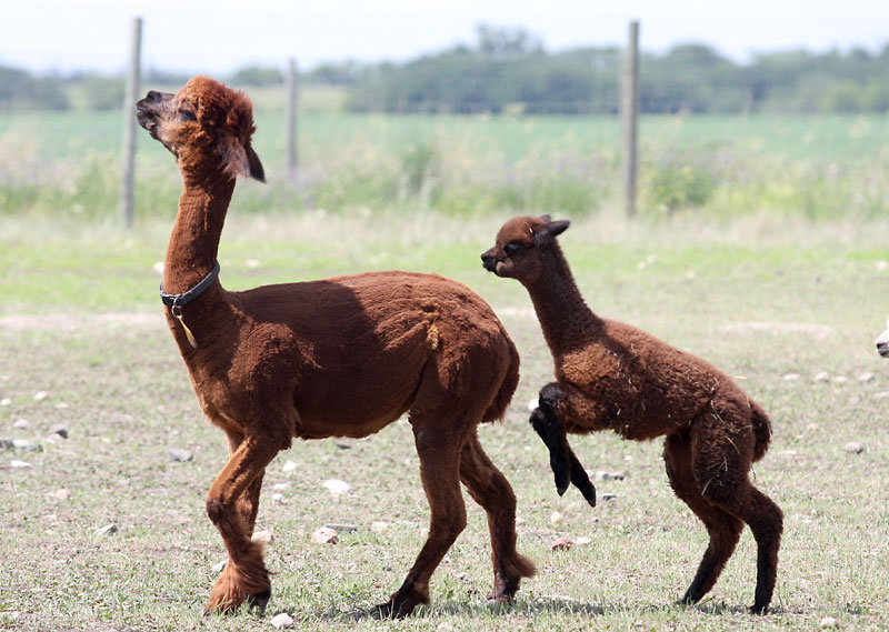 A just born baby alpaca follows an older brown one on a sunny afternoon at Burton Alpacas, a farm owned by Christine Burton and her husband just outside of Brandon, who both share a love for animals.