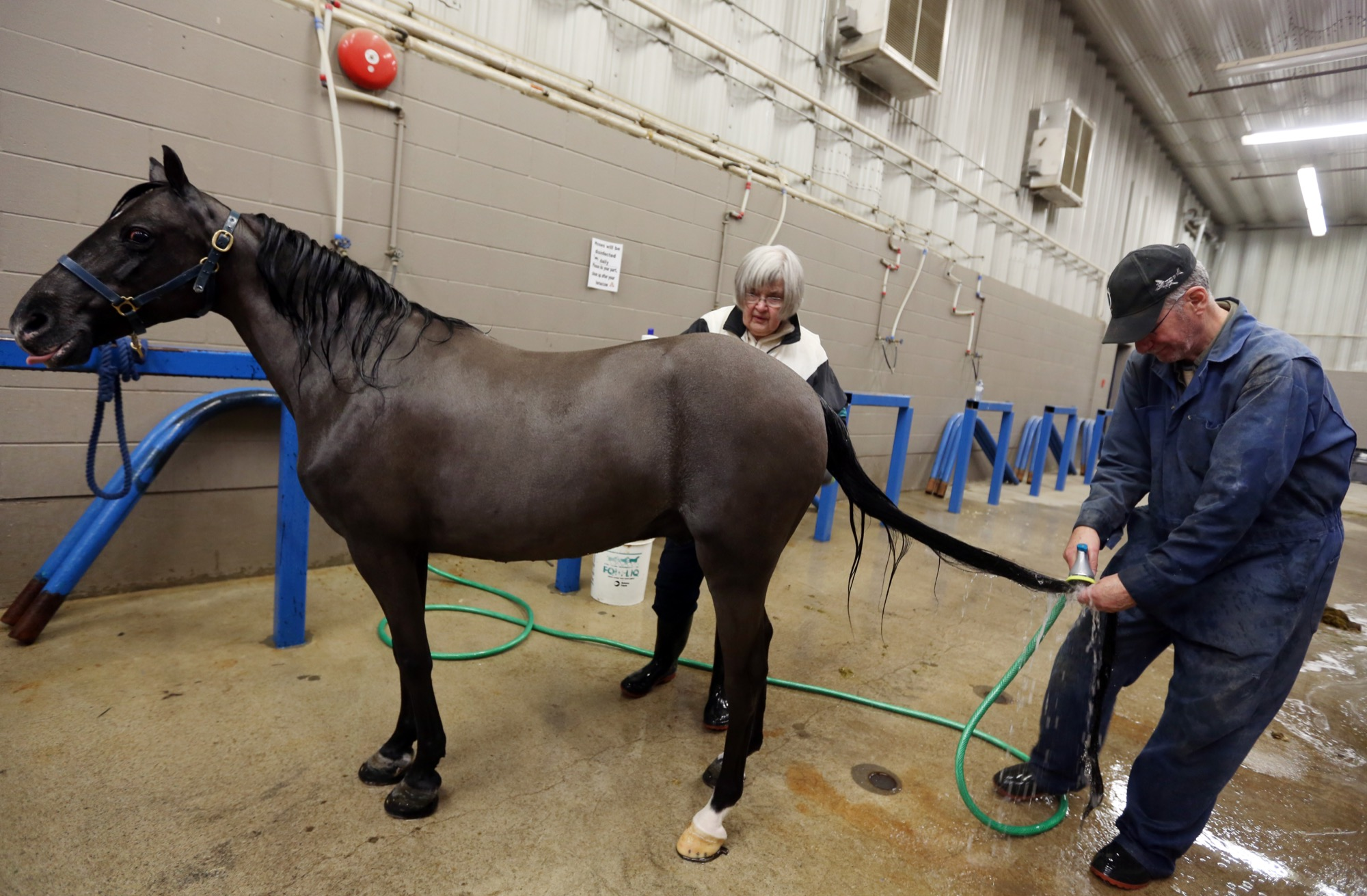 Margaret Eastley and her husband Ted give Flyers Final Edition a bath on Sunday in preparation for the Royal Manitoba Winter Fair.