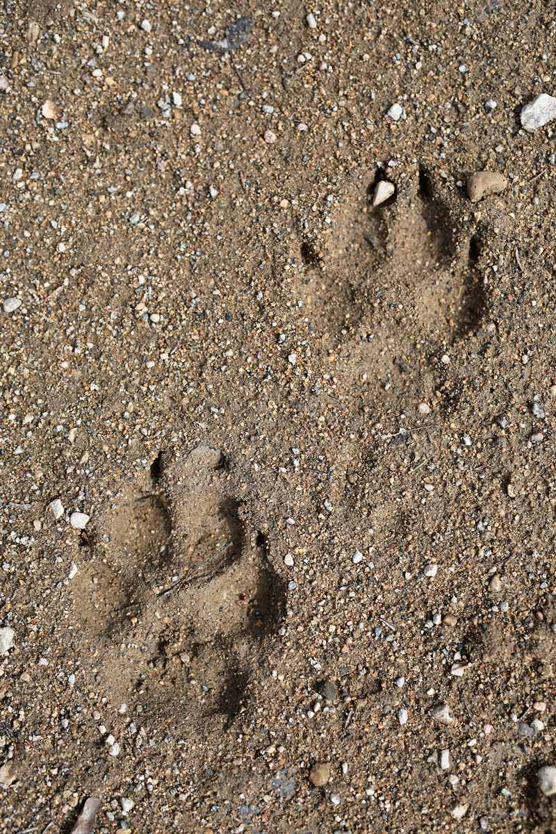 Animal prints in the sand at Riding Mountain National Park. (Tim Smith/The Brandon Sun) (Tim Smith/The Brandon Sun)