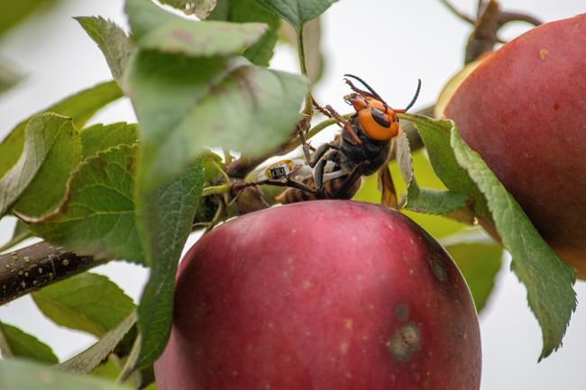In this photo provided by the Washington State Department of Agriculture, A live Asian giant hornet with a tracking device affixed to it sits on an apple in a tree where it was placed, near Blaine, Wash., in anOct. 7, 2020, handout photo.Washington state officials say they were again unsuccessful at live-tracking an Asian giant hornet while trying to find and destroy a nest of the so-called murder hornets. THE CANADIAN PRESS/AP-HO, Washington State Department of Agriculture,Karla Salp, *MANDATORY CREDIT*
