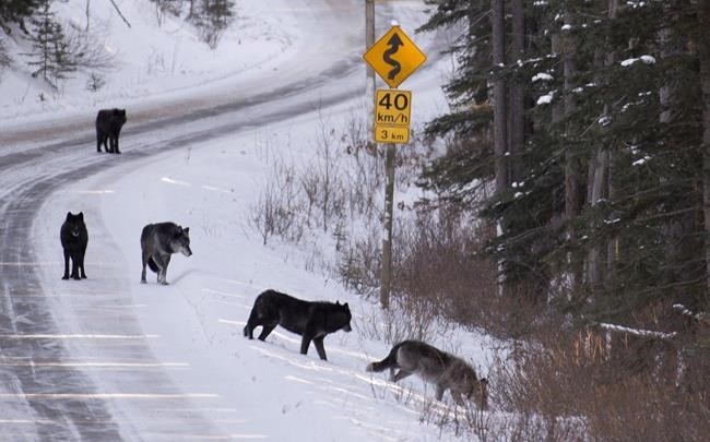 A wolf pack walk along the Bow River Parkway near Lake Louise, Alta, Tuesday, Dec. 3, 2013.The Canadian Armed Forces is apologizing after some residents of Kings County, N.S., received a phoney letter warning of wolves in the area. THE CANADIAN PRESS/Jonathan Hayward