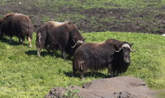 Muskox are herded into their pen overlooking the path to the Gateway to the Arctic building.