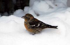 The White-winged Crossbill is just one of the record 46 species identified during Brandon's 32nd official Christmas Bird Count held Dec. 16.