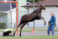 Animal control officer Kelly Pettinger falls to the ground while trying to rein in a panicked cow moose after it had been tranquilized at J.R. Reid School on Wednesday.