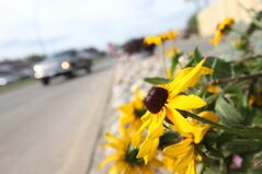 Vehicles pass the colourful flowers lining the boulevard dividing the northbound and southbound lanes of 18th Street in Brandon on Tuesday.