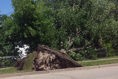The uprooted elm tree that fell from Queens Avenue onto Ed Broome's fence during the storm on July 5.