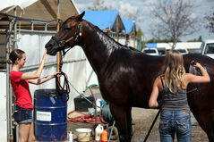 Paige Suelzle holds on to the reins of Dodger, a purebred Arabian, as Erin Swanson bathes the horse during the first day of the Canadian National Arabian & Half-Arabian Championship Horse Show. The pair is in town showing with Stewart Performance Horses from Junction City, Ore.