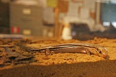 The endangered northern prairie skink is Manitoba's only known lizard. During the Skink Fest event at Spruce Woods Provincial Park this weekend, the park was officially named an important area for reptiles and amphibians by the Canadian Amphibian and Reptile Conservation Network.