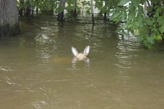 Water levels in St. Lazare nearly obscure an ornamental deer.