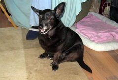 Paisley – Corgi/Terrier Blend – Spayed Female – 12 years old
