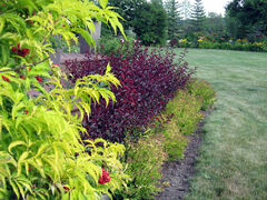 Golden elder and sand cherry provide vivid colour contrast in Shonda Ashcroft's garden.