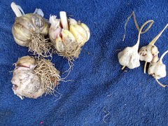 The bulbs on the right were dug from the soil; those on the left were harvested from the tops of the plants.