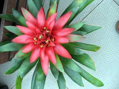 This bromeliad features a unique flower.