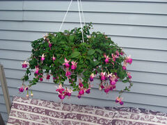 A fuchsia hanging basket adds colour where there is no space for other types of plantings.
