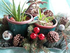Three succulents in identical green pots sit on a bed of real spruce boughs on a tray; cones and a few holiday accents have been added.