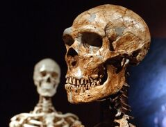 TO GO WITH STORY BY FRANK JORDANS EUROPE NEANDERTHALS - FILE - This Jan. 8, 2003 file photo shows a reconstructed Neanderthal skeleton, right, and a modern human version of a skeleton, left, on display at the Museum of Natural History in New York. Humans and Neanderthals may have coexisted in Europe for more than 5,000 years, providing ample time for the two species to meet and mix, according to new research. Using new carbon dating techniques and mathematical models, the researchers examined about 200 samples found at 40 sites from Spain to Russia. (AP Photo/Frank Franklin II, FILE)