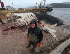 Mark Engstrom, Senior Curator and Deputy Director of Collections and Research at the Royal Ontario Museum, and his team, cut up the carcass of a blue whale in Winter House Brook, N.L., on Saturday, May 10, 2014. Newfoundlanders who want to keep at least one of two giant blue whales that washed ashore on the west coast of the island may get their wish.The man leading the Royal Ontario Museum's effort to dismember and transport those remains to Toronto says he must review plans to handle both carcasses. THE CANADIAN PRESS/Paul Daly