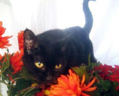 America is just one of a few gorgeous black cats in the care of Funds for Furry Friends that is looking for a home. For more information, visit www.fundsfurfriends.com