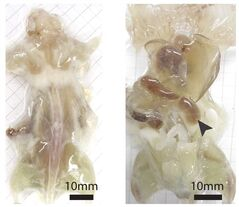 This undated photo combo provided by the journal Cell and taken with a bright field camera, shows a mouse with its skin removed during various stages of examination. In a study released by the journal Cell on Thursday, July 31, 2014, researchers describe a way to make see-through mice and rats, a step that should help them study fine details of anatomy for basic research. The left image shows the mouse with the skin removed. The right image shows the mouse after one week of the process. (AP Photo/Cell, Yang et al)