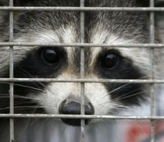 A captured raccoon peers through the bars of a trap in Grand Isle, Vt., Thursday, Sept. 27, 2007. Two children in southern New Brunswick are receiving post-exposure treatment for rabies after their family's dogs had contact with a rabid raccoon. THE CANADIAN PRESS/AP-Toby Talbot