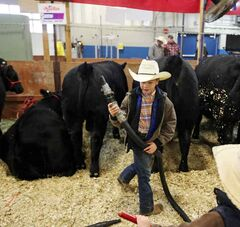 Ty Nykoliation cleans his family's black Angus cows to keep them looking nice as his younger brother Lane watches during the Manitoba Livestock Expo on Saturday.