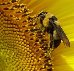 A bee collects pollen in a sunflower field, Monday, Sept. 1, 2014, near Lawrence, Kan. Two large honey producers have launched a proposed class-action lawsuit against two chemical companies that make pesticides the beekeepers allege are linked to bee deaths. THE CANADIAN PRESS/AP/Charlie Riedel