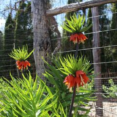 This Monday, May 5, 2014 photo shows a crown imperial, a majestic spring bulb that deserves to be more widely known and grown, in New Paltz, New York. (AP Photo/Lee Reich)