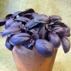 It is almost time to snip some leaves from these purple basil seedkings.