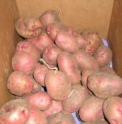 Potatoes, shown stored here in cardboard boxes, like cool moist conditions.