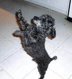 LJ, a six-year-old male, tiny poodle has a tattoo inside one ear (XWC268) and is black with a white chin.