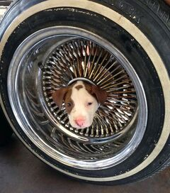 This photo released by the Kern County Fire Department shows a puppy that somehow got his head stuck in the middle of a wheel rim and was brought to a Kern County fire station on Friday, June 20, 2014. Fire Department spokesman Brandon Hill says two firefighters used vegetable oil to ease the dog's head out of the hole. The little pooch, named Junior, has returned to live with its owner and seven siblings. (AP Photo/James C. Dowell )