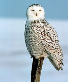 A snowy owl is seen here perched on a fence post.
