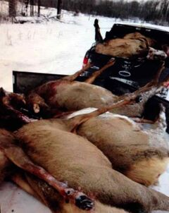 This photo of several of the elk killed by hunters near Swan River about a week ago was posted on Facebook.
