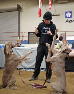 Samantha Lovett of Winnipeg visits with her long coat Weimaraner, Phantom, and her short coat Weimaraner, Zumi, during the Crocus Obedience and Kennel Club's agility trials on Saturday.