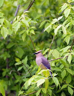 A waxwing sits in a tree.