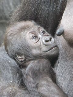A baby gorilla sits with her mother at the Toronto Zoo in this recent handout photo.A Papa gorilla has chosen the name 'Nneka' for a female baby born at the Toronto Zoo. THE CANADIAN PRESS/HO - Toronto Zoo/Corrina Aimers